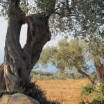 Gli ulivi secolari fotografati da Ester Di Stefano